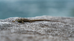 A lizard at the lake (ramvogel) Tags: sony a6300 lizard switzerland sony18105mm wildlife lake ticino