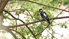 Male Great Spotted Woodpecker (rq uk) Tags: rquk nikon d750 dintonpastures bitternhide greatspottedwoodpecker nikond750 afsnikkor70200mmf28efledvr afsteleconvertertc14eiii male