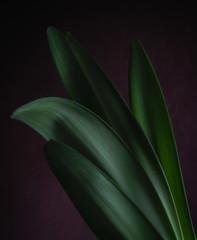 Amaryllis Leaves #5 (rick reichenbach) Tags: leaves amaryllis lowkey plant
