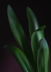 Amaryllis Leaves #4 (rick reichenbach) Tags: leaves amaryllis lowkey plant