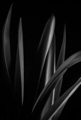 Amaryllis Leaves #1 in B&W (rick reichenbach) Tags: leaves amaryllis lowkey plant blackandwhite bw