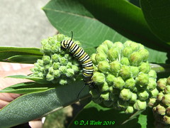 Monarch Caterpillar (Picsnapper1212) Tags: monarch butterfly caterpillar larva insect animal nature lebanon ohio