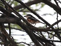 Brubru (Wild Chroma) Tags: nilaus afer nilausafer brubru birds passerines namibia