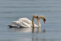 Cygne tuberculé ou Cygne muet ---- Mute swan ----    Cisne mudo o Cisne blanco (Jacques Sauvé) Tags: cygne tuberculé ou muet mute swan cisne mudo o blanco bird ave oiseau sur le fleuve stlaurent ontario canada
