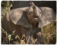 """See How Brave I Am"" (The Spirit of the World ( On and Off)) Tags: 5star flagged babyelephant baby elephant botswana southernafrica africa safari gamedrive gamereserve delta okavangodelta wildlifereserve wildlifeportrait nature trunk naturethroughthelens"