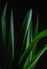 Amaryllis Leaves #1 (rick reichenbach) Tags: leaves amaryllis lowkey plant