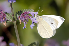 Cabbage White Butterfly (Airwolfhound) Tags: rspbsandy rspb wildlife butterfly cabbagewhitebutterfly
