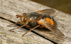 Face fly (Musca autumnalis) (Dibbly Dobbler) Tags: sonya7rii 90mm macro insect face fly musca autumnali