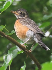 American robin fledgling (Cheryl Dunlop Molin) Tags: robin robinfledgling americanrobin fledgling juvenilebird bird flickrlounge signorsigns coth specanimal coth5
