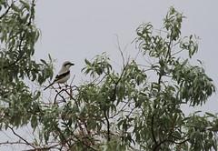 Steppe Grey Shrike (Wild Chroma) Tags: lanius meridionalis pallidirostris laniusmeridionalispallidirostris laniusmeridionalis shrike birds passerines kazakhstan