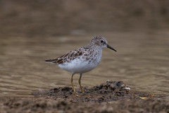 Least Sandpiper (Byron Taylor) Tags: costarica wildlife nature kingfisher duck wildfowl waders wader canon7d canon arenal