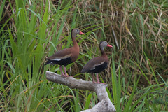 Black-bellied whistling-duck (Byron Taylor) Tags: costarica wildlife nature kingfisher duck wildfowl waders wader canon7d canon arenal
