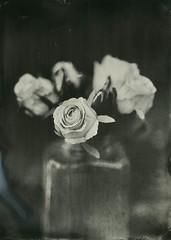 White roses (Rosenthal Photography) Tags: 160 aluminotypie leasportrait3 3sek epsonv800 f4 petzval360mm4 5x7 nasplatte vocecamera8x10tc grosformat ilfordrapidfixer tintypie 20190601 analog kollodium stilllife whiterose rose flower plant garden mood spring may voce tc vtc 8x10 petzval 360mm 3sec ilford rapid fixer epson v800 collodion wetplate tintype aluminotype