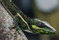 See Me (ACEZandEIGHTZ) Tags: nikon knightanole anoliscarolinensis d3200 green nature bokeh reptile lizard yellowmarkings macro closeup coth alittlebeauty coth5 sunrays5