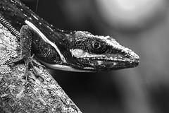 Eyeing Me (ACEZandEIGHTZ) Tags: blackandwhite monochrome nikon d3200 lizard macro closeup reptile bokeh knightanole anoliscarolinensis
