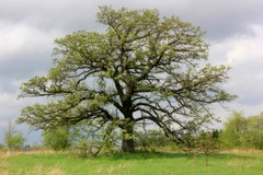 The Oak In Spring (moodyfan (Julie) off for a few days) Tags: oak spring green tree springtime solitary