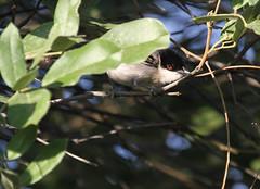 Black-backed Puffback (Wild Chroma) Tags: dryoscopus cubla dryoscopuscubla puffback namibia birds passerines