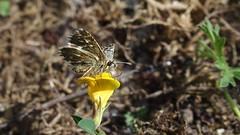 Grizzled Skipper (Nick:Wood) Tags: butterfly grizzledskipper pyrgusmalvae cuttlepoolnaturereserve warwickshirewildlifetrust templebalsall