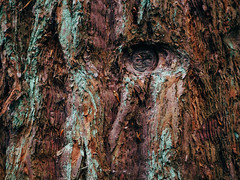 face_to_face_witch_the_mammoth (Joerg Esper) Tags: redwoodtree redwoods wood woods wooden baum bäume mammutbaum mammutbäume mammutwald mammutwald2 riesenmammutbaum natur nature forest wald wälder deutschland de germany rheinlandpfalz neuwied strasenhaus rinde olympus olympusomdem10markii panasoniclumixg25mmf17asph