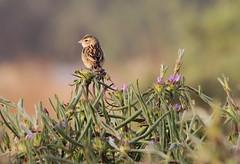 Bishop (Wild Chroma) Tags: euplectes bishop birds passerines gambia
