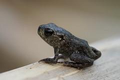 Bufo bufo (xav.heckmann) Tags: crapaud crapaudcommun grot kröte erdkröte juvénile wasserloch eschbach ilce7 sel90m28g toad commontoad bufonidae