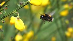 Buff-tailed Bumblebee (Nick:Wood) Tags: bumblebee bombusterrestris bufftailedbumblebee cuttlepoolnaturereserve warwickshirewildlifetrust templebalsall broom