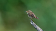 Reed  Warbler ( Acrocephalus Scirpaceus ) (Dale Ayres) Tags: reed warbler acrocephalus scirpaceus bird nature wildlife wood perch