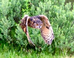 the Hunter (johan wieland) Tags: johanwieland 2019 alphenaanderijn avifauna
