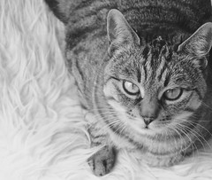 """What do you mean -- somebody ate your yoghurt? (evakatharina12) Tags: cat tabby kitty black white bw portrait face eyes"