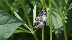 Silver-ground Carpet (Nick:Wood) Tags: moth silvergroundcarpet xanthorhoemontanata cuttlepoolnaturereserve warwickshirewildlifetrust templebalsall