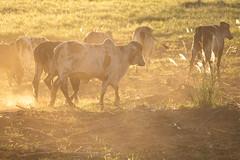 [ Raising dust ] (Marcos Jerlich) Tags: cattle flock countrified light goldenhour golden dust rural landscape countryside vegetation colour colorful contrast june lins brasil américadosul canon canont5i canon700d efs55250mm flickrheroes marcosjerlich
