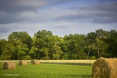 Fenaison / Haymaking time (domingo4640) Tags: agriculture paille champ landes basarmagnac lefreche ambiance loxia loxia85 loxia2485 paysage paysagecampagne paysagebuccolique campagne