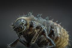 Ladybird Larva (Harry Sterken) Tags: arthropod focusstacking focusstapelen geleedpotige insect ladybirdlarva laowa25mmf28255xultramacro larve larvelieveheersbeestje macro natur nature nikond850 photostacking ultramacro zerene zerenestacker