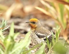 Young Northern Mockingbird (C-O) Tags: may 17corr018 arboretum bird young northern mockingbird puya nectar yellow head cheetos nature arcadia ca