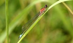 Ischnura elegans (jon. moore) Tags: colnevalley greaterlondon coenagrionidae ischnuraelegans bluetaileddamselfly odonata zygoptera