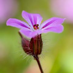 Eternal Purple (Gijs Peijs) Tags: spring netherlands closeup flower roze outdoor weeds bloem cranesbill robertskruid colorful macro pink lente onkruid nature colors detail