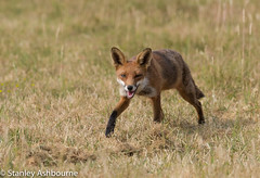 Red Fox. (stanley.ashbourne) Tags: wildlife nature redfox oxfordshire wildlifephotography stanashbourne