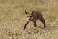 Red Fox. (stanley.ashbourne) Tags: wildlife nature redfox oxfordshire wildlifephotography stanashbourne