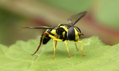 Xanthogramma pedissequum (jon. moore) Tags: colnevalley greaterlondon xanthogrammapedissequum diptera syrphidae