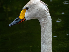 Whooper Swan (Pendlelives) Tags: whooper swan male female portrait portraits head bird birds wildlife nature water lake lakes martin mere lancashire reflections vibrance nikon p1000 uk british england pendlelives