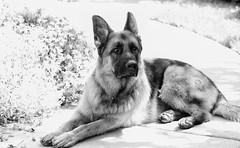 Zeke 23/52 Weeks for Dogs (Karen McQuilkin) Tags: 2352weeksfordogs zeke monotones portrait germanshepherd