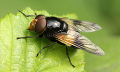 Volucella pellucens (jon. moore) Tags: hounslowheath greaterlondon volucellapellucens diptera syrphidae pellucidfly