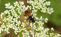 Pseudovadonia livida (jon. moore) Tags: hounslowheath greaterlondon coleoptera cerambycidae fairyringlonghorn pseudovadonialivida
