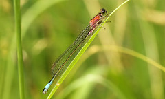2244 (jon. moore) Tags: colnevalley greaterlondon coenagrionidae