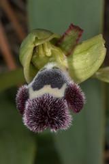 Ophrys fleischmannii (adrien2008) Tags: ophrys fleischmannii
