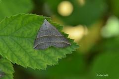 ... Colobochyla salicalis ([Denis & Schiffermüller], 1775) (Plebejus argus) Tags: colobochylasalicalis erebidae moths falene lepidotteri insetti valledeisanti montilepini laziomeridionale nikond7000 sigma150macro