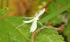 Pterophorus pentadactyla (jon. moore) Tags: colnevalley greaterlondon pterophoridae lepidoptera whiteplumemoth pterophoruspentadactyla