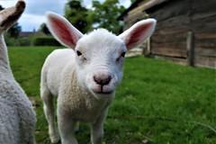 Lamb, Acton Scott Farm (Alex J Donohue) Tags: shropshire hills west midlands england acton scott farm lamb