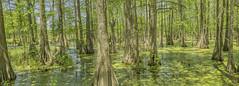 Cypress Swamp 2019-04 17 Panorama B (Jim Dollar) Tags: panorama louisiana swamp cypresstrees lakemartin cypressswamp breauxbridge stmartinparish jimdollar canon5div