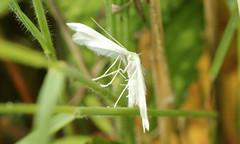 Pterophorus pentadactyla (jon. moore) Tags: colnevalley greaterlondon whiteplumemoth pterophoruspentadactyla lepidoptera pterophoridae